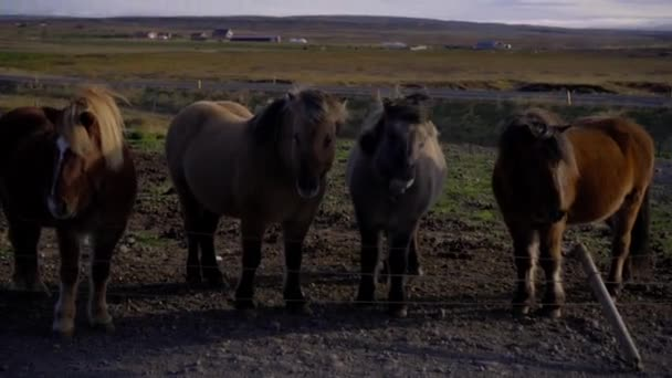 The Icelandic horses graze in the meadow
