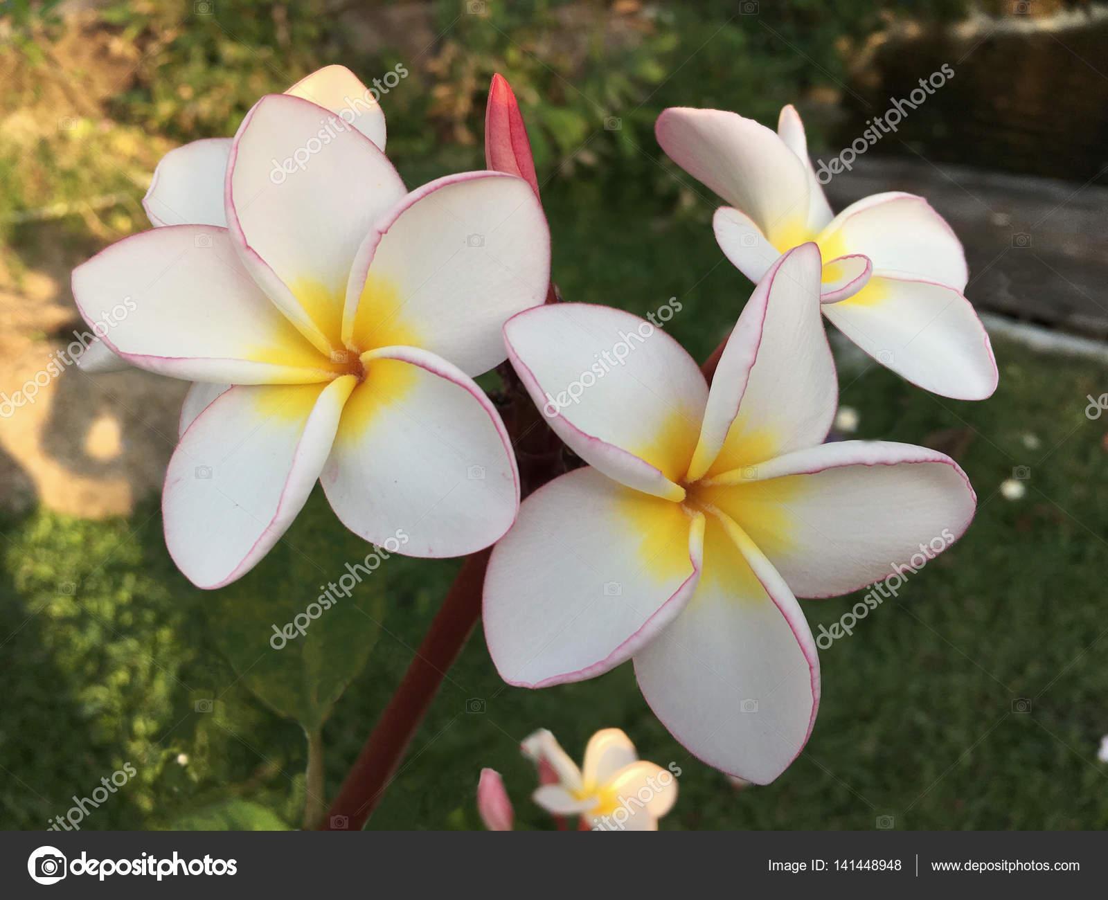 Fleurs De Plumeria Frangipanier Couleur Blanche Et Rose Qui Fleurit