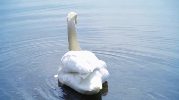 Fehér hattyú úszik a tó vizének