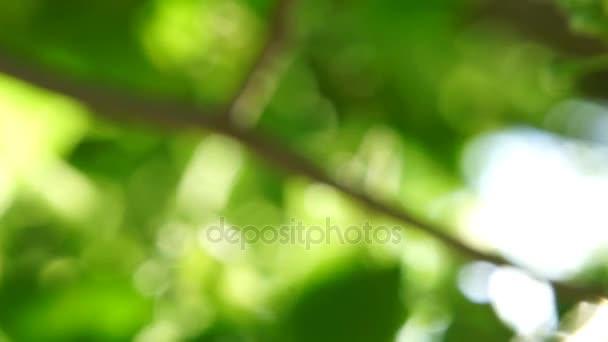 Čerstvé mladé zelené lipové listy jasné sluneční světlo, zblízka střílel