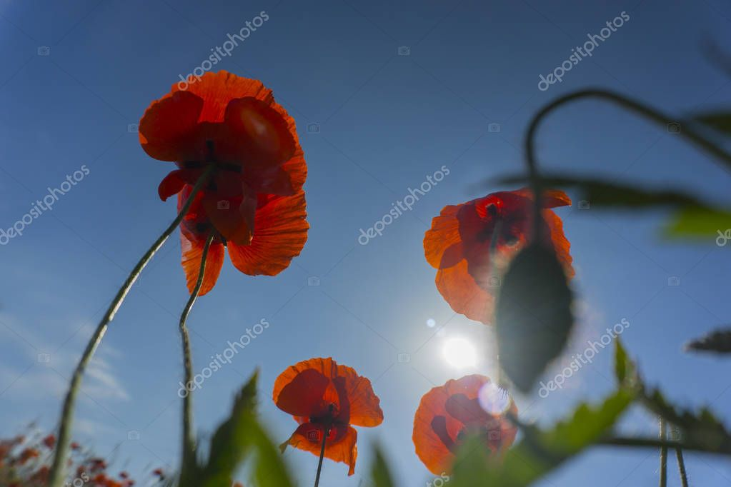 Beautiful field red poppies with selective focus. Opium poppy. Natural drugs.