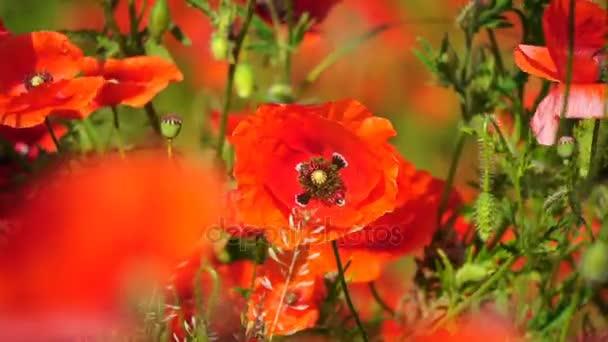 Gyönyörű vörös mezőben Pipacsok a szelektív összpontosít. Ópium-mák. Természetes gyógyszerek.