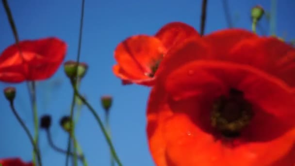A szelektív összpontosít gyönyörű vörös mezőben Pipacsok