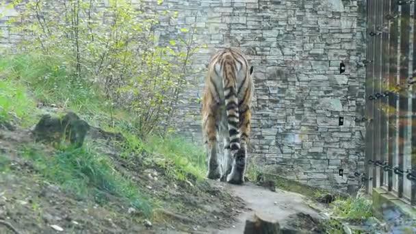 Tigre in agguato nel recinto dello zoo