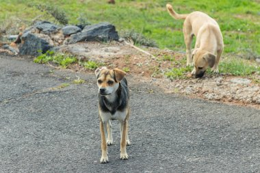 Two dogs on a side of a local asphalt road in mountain village on the south of Tenerife Island. One animal inspects with interest an uninvited guest with a tripod and a camera