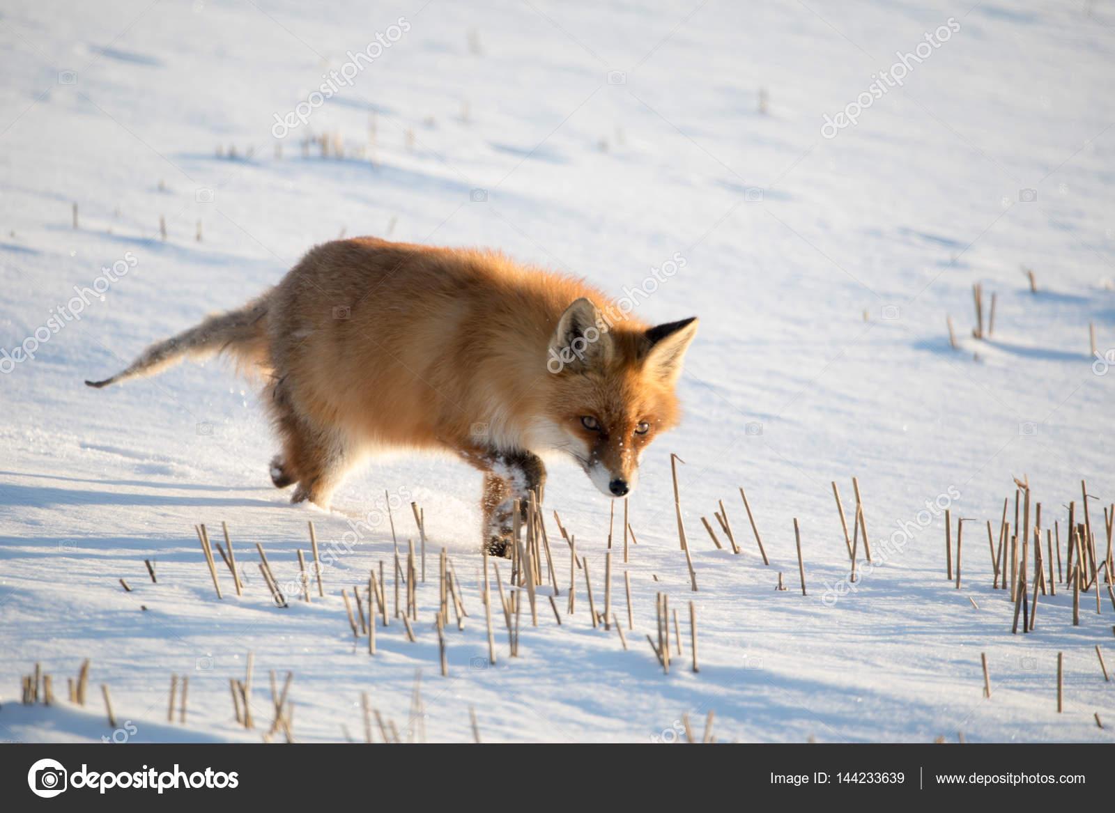 Fuchs Im Winter Stockfoto C Fredograf 144233639