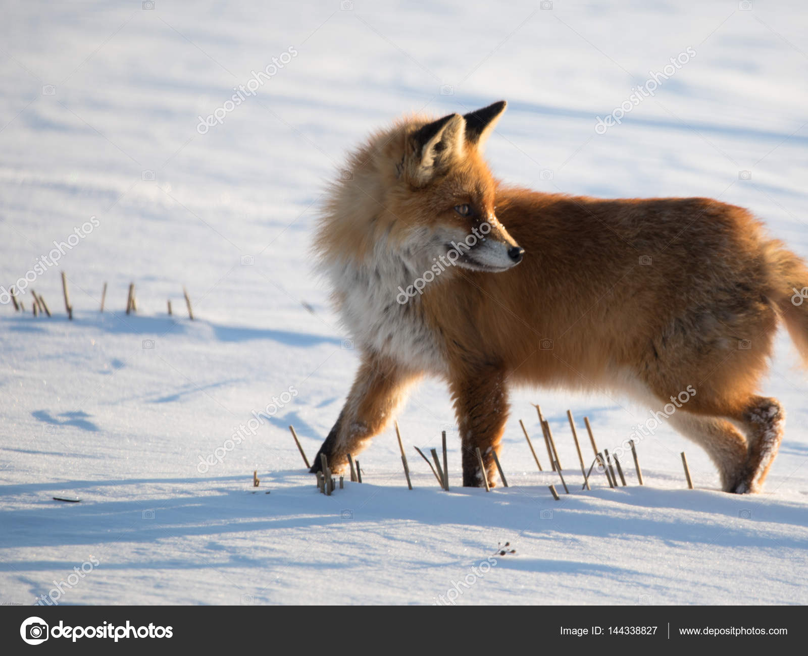 Fuchs Im Winter Stockfoto C Fredograf 144338827