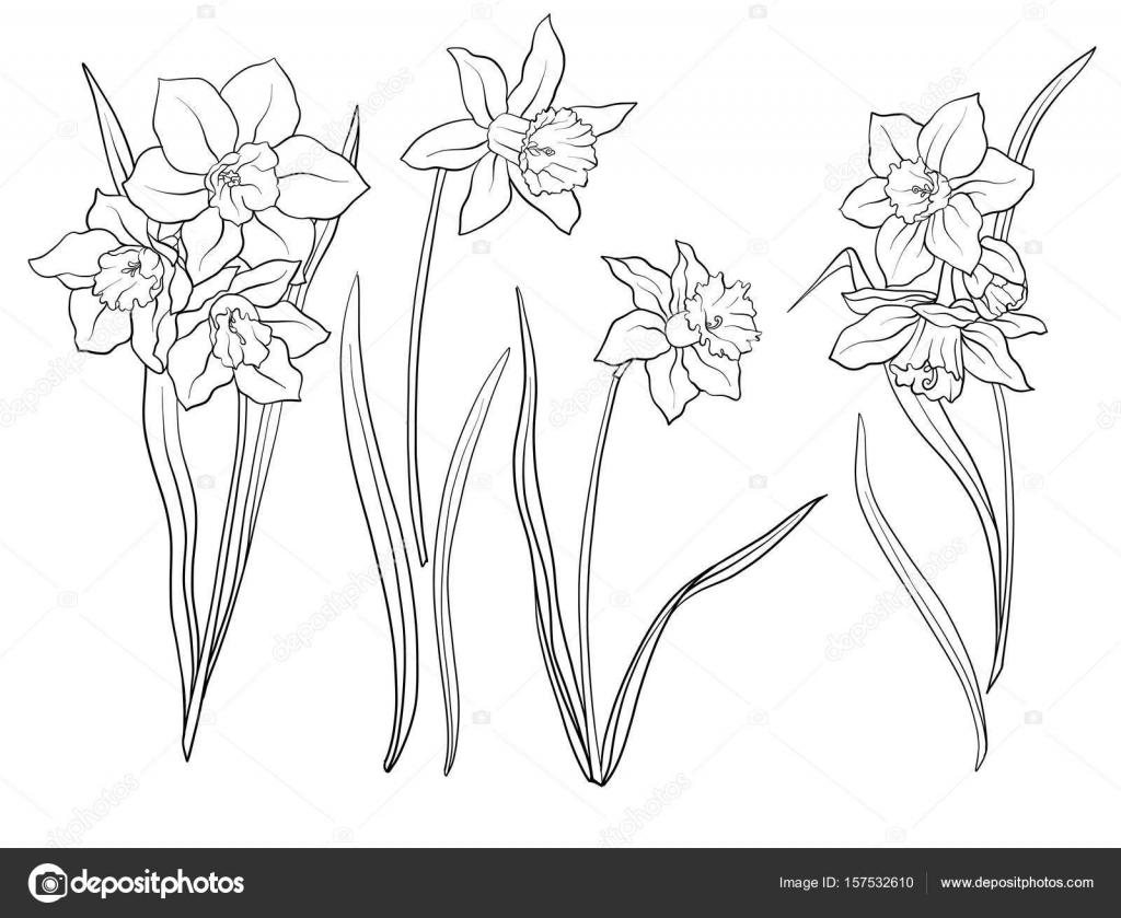 Narzissen Blüten Satz Von Umriss Blumen Stockvektor