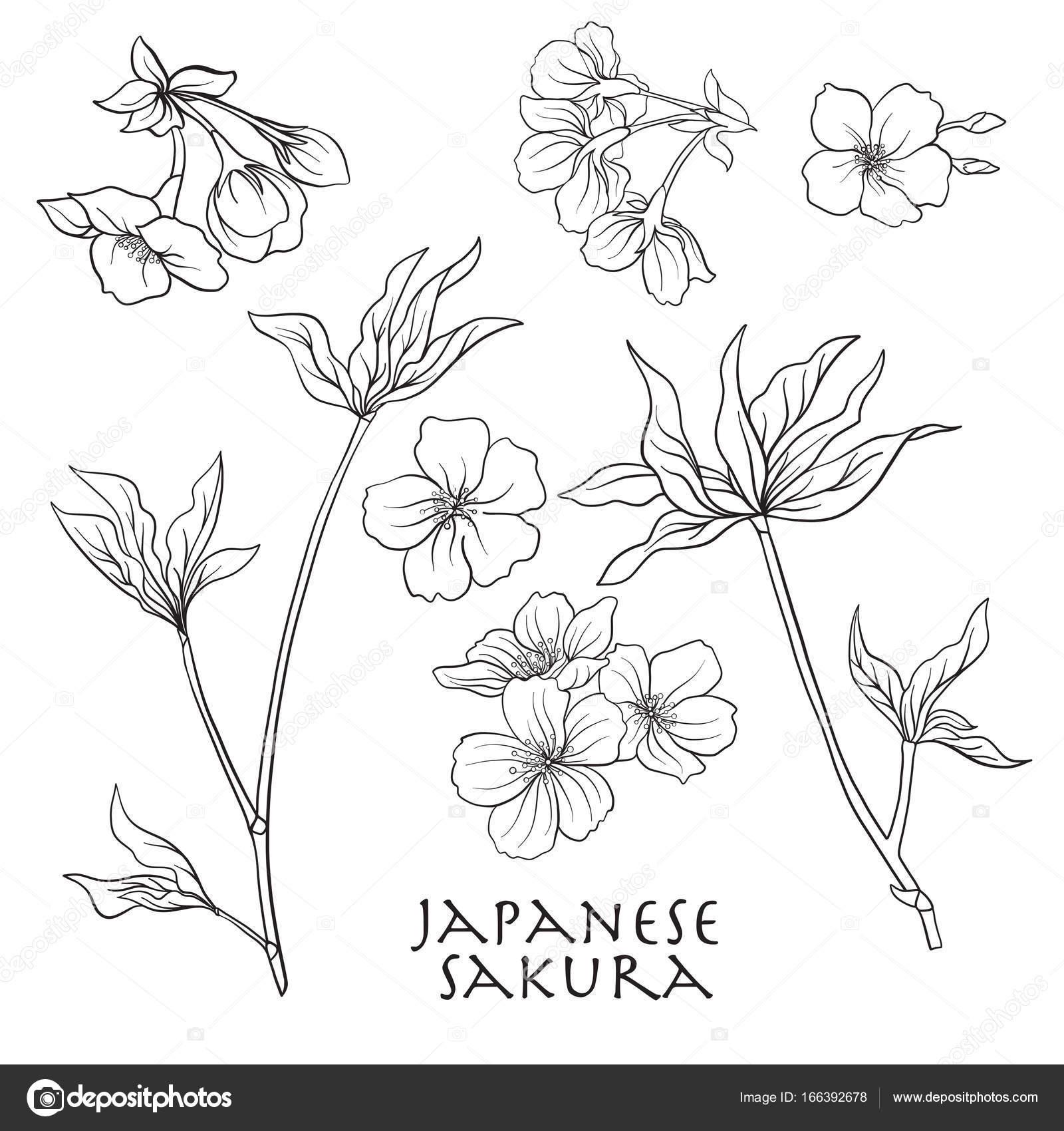 Branche De Fleurs De Cerisier Cerisier Japonais Ligne