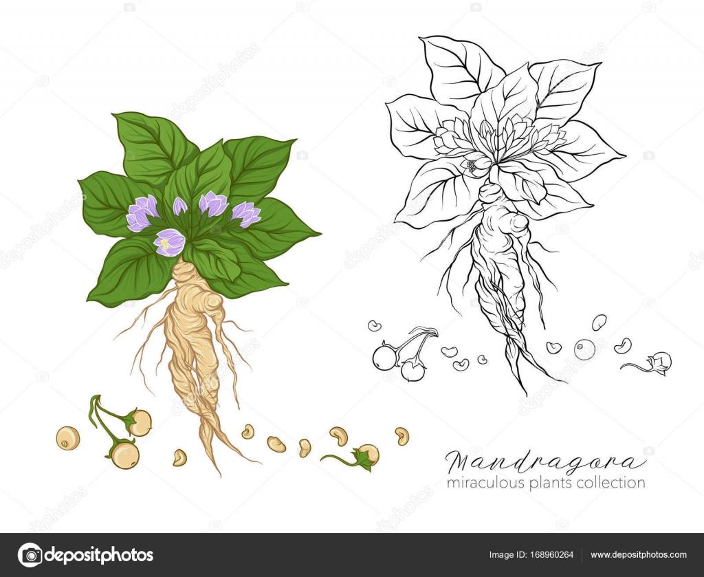 Цветки мандрагора