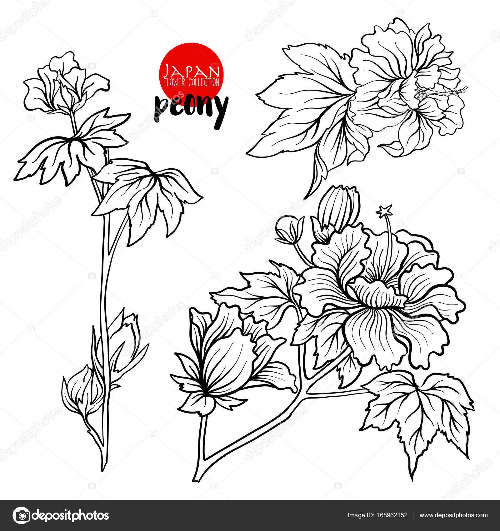 pfingstrose zeichnen blumen zeichnung, pfingstrose blumen. lager linie vektor illustration botanische, Design ideen