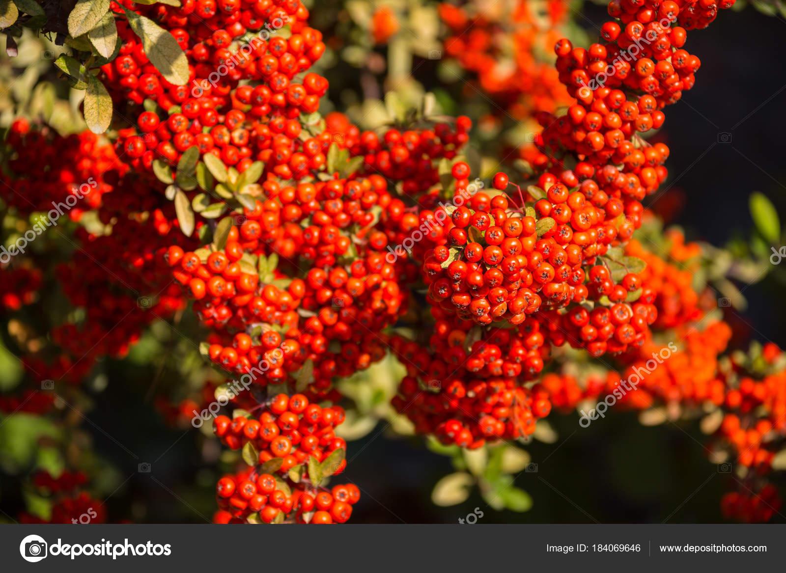 ein zwergmispel busch mit vielen roten beeren auf zweigen herbstliche hintergrund close up. Black Bedroom Furniture Sets. Home Design Ideas
