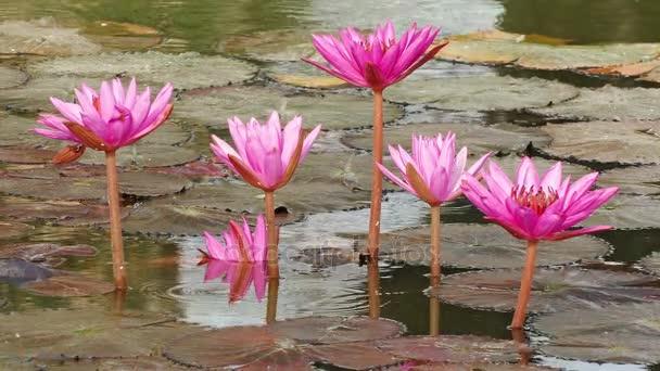 Červená Lotus rybník Sunrise vlnění odraz 4k