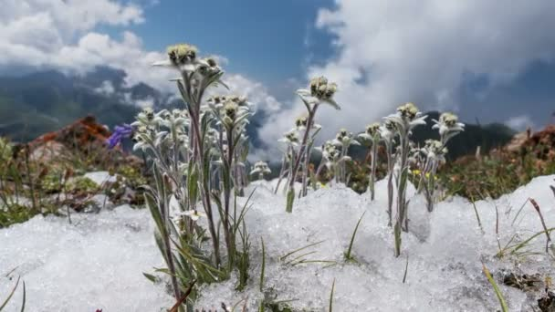 Edelweiss (Leontopodium alpinum) among the melting snow on the background of mountains and clouds. Time Lapse zoom. Concept of rare flowers under protection.