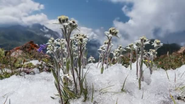 Edelweiss (Leontopodium alpinum) among the melting snow on the background of mountains and clouds. Time Lapse. Concept of rare flowers under protection.