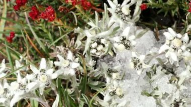 Edelweiss (Leontopodium alpinum) and other flowers on the alpine meadow in the mountains.