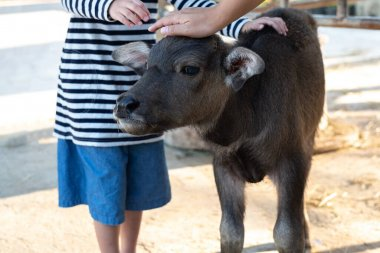 Calf, Baby Buffalo Animal, Hands rub on the head of a baby Buffalo in the farm. Farm activity for kid.