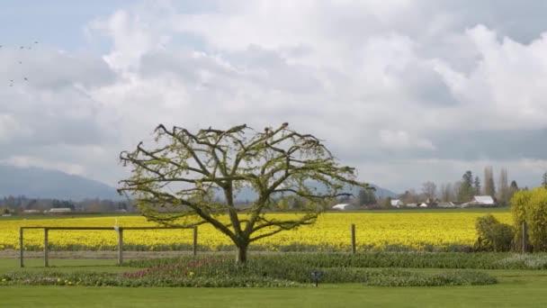 Daffodil Pole v zamračený den