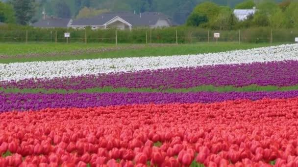 Mnohobarevné tulipány rostoucí na květinovém poli