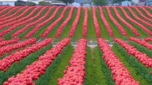 červené tulipány na poli za oblačného počasí