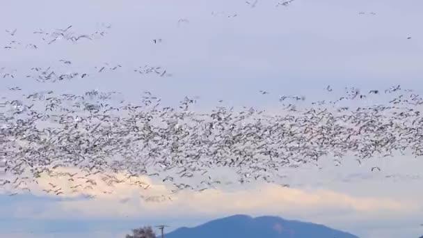 Obrovské hejno hus vzlétá nad venkovským polem
