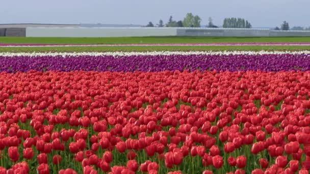 obrovské pole červené tulipány