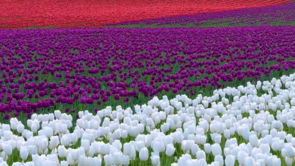 nagy fehér tulipán mező a felhős napon.