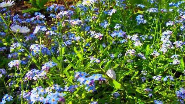 květiny pomněnka