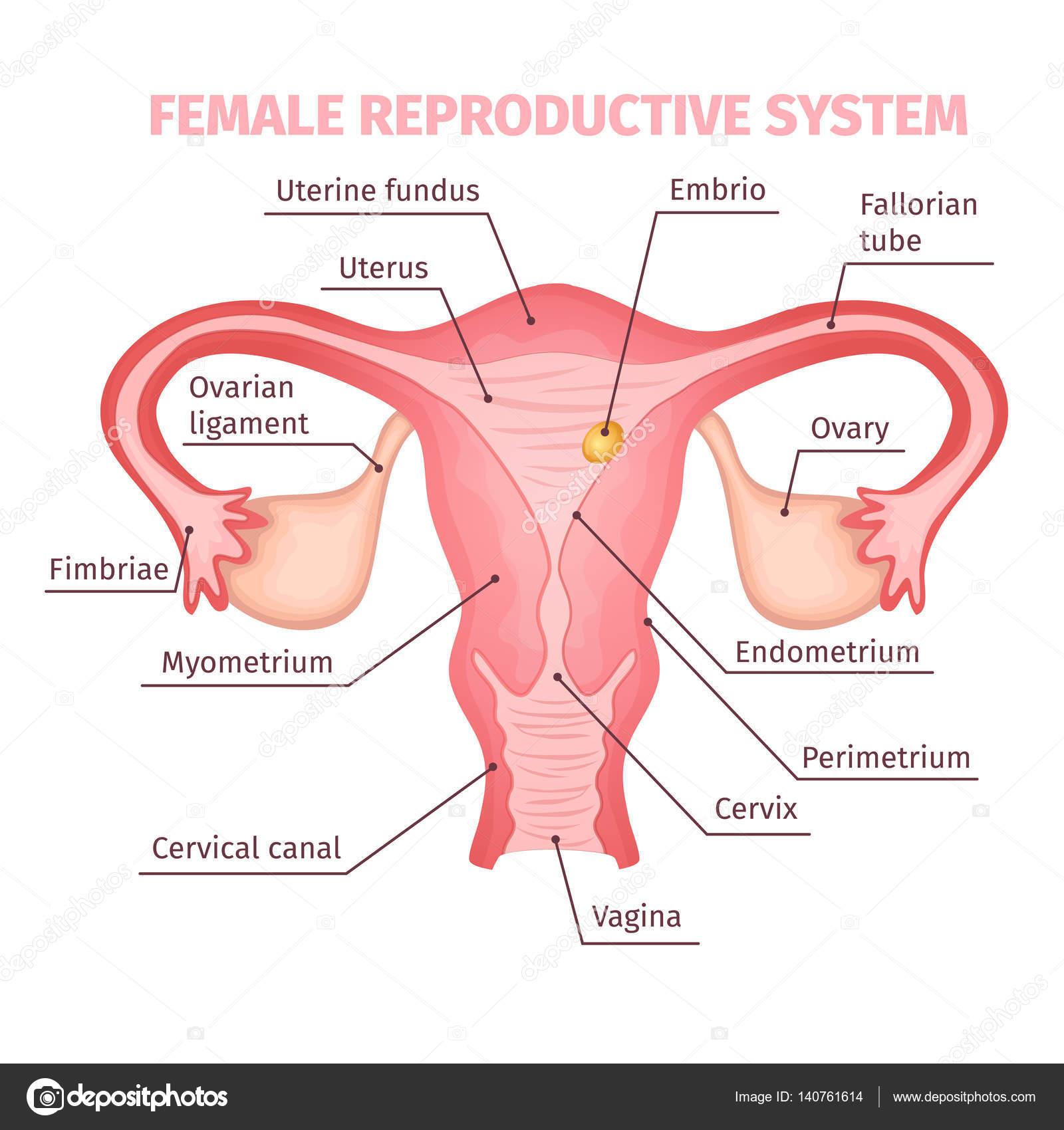 Sistema reproductor femenino plantilla científica — Archivo Imágenes ...