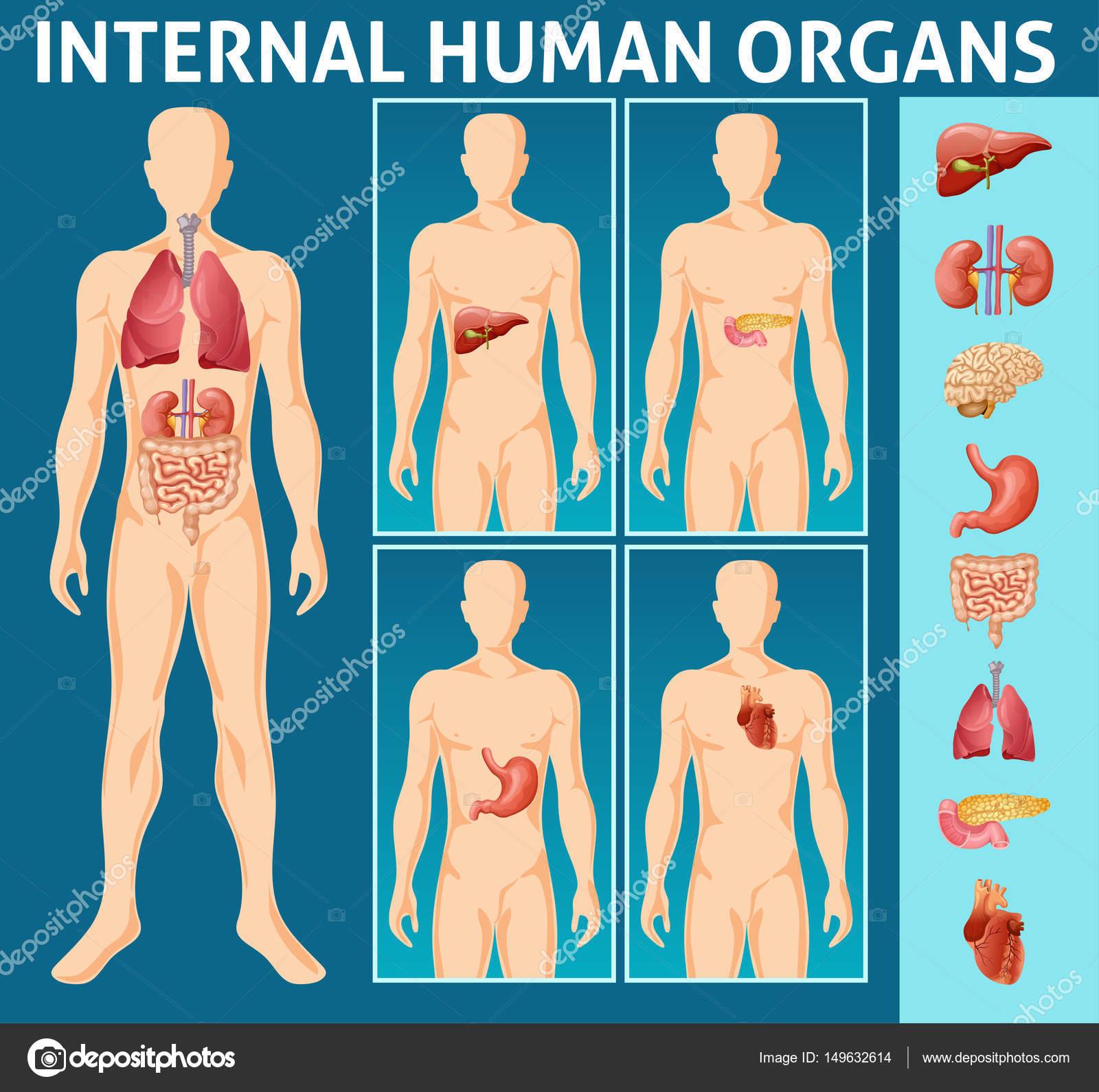 Dibujos cuerpo humano partes internas concepto — Vector de stock ...