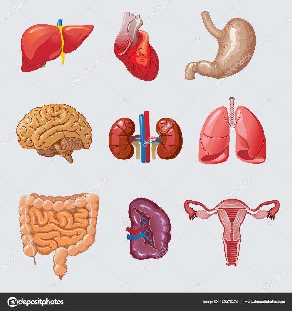Conjunto de órganos humanos de dibujos animados — Vector de stock ...