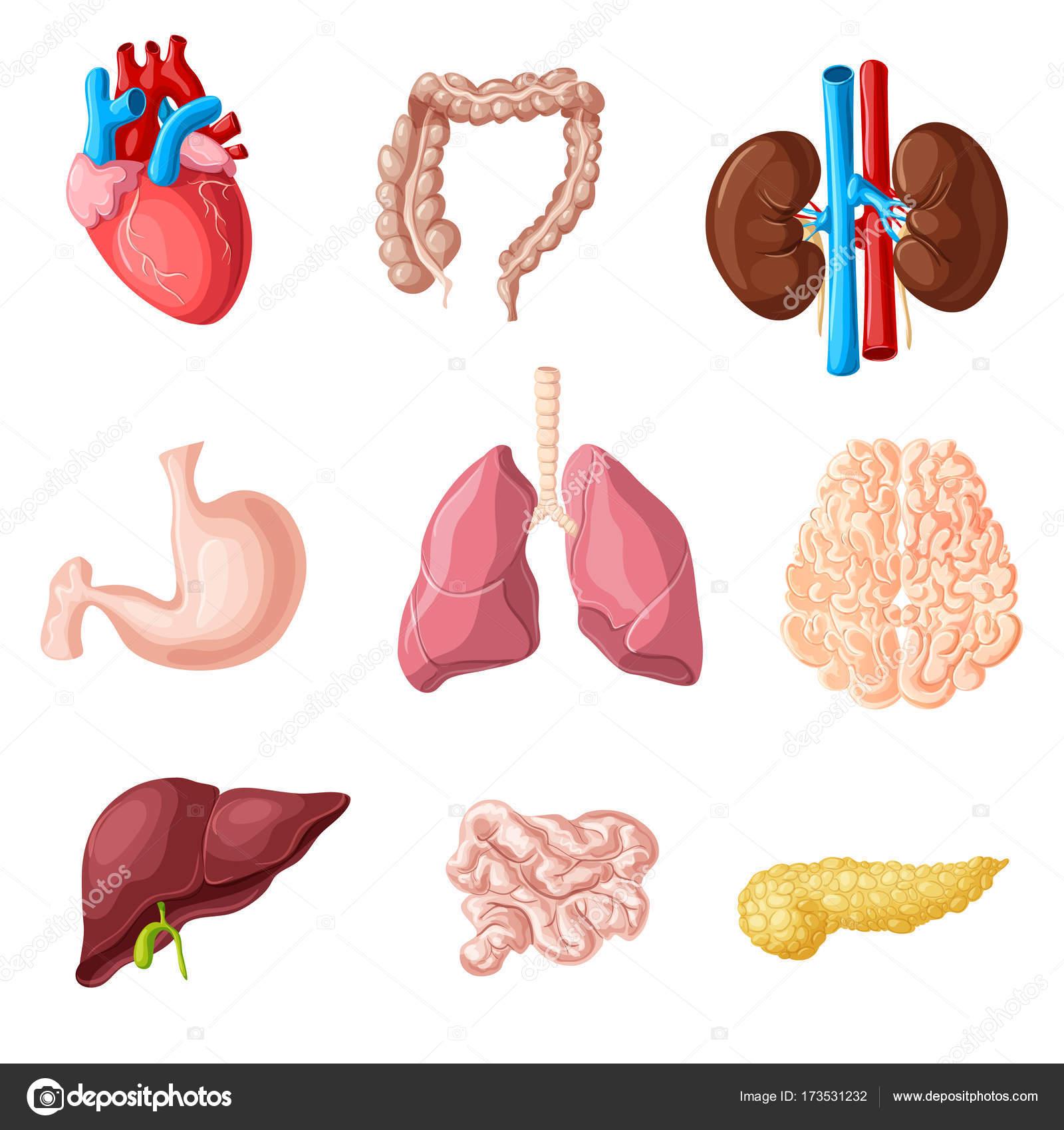Conjunto de los órganos internos humanos dibujos animados — Vector ...