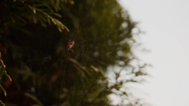 Spider sits on web, the wind blows, then man pokes finger spider, insect falls