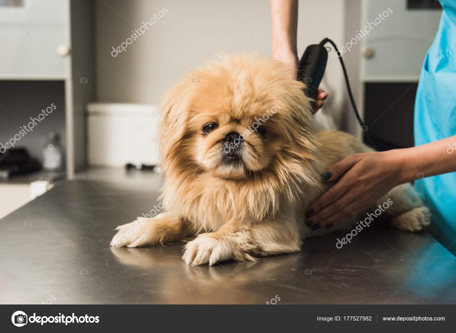 Mały Pies Coraz Fryzura Zdjęcie Stockowe 160275 177527982
