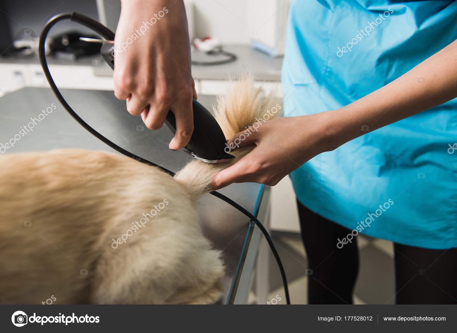 Mały Pies Coraz Fryzura Zdjęcie Stockowe 160275 177528012