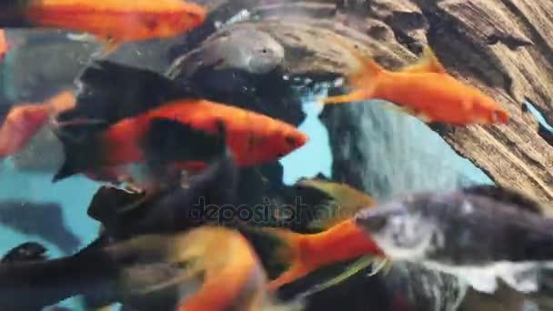 Kleine Fische in der Nähe von Haken in kristallklarem Wasser des Aquariums mit bubbles