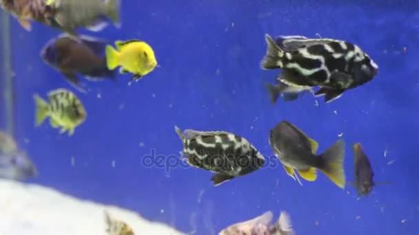 Aquarium tropische Fische ernähren sich in transparenten Reinwasser