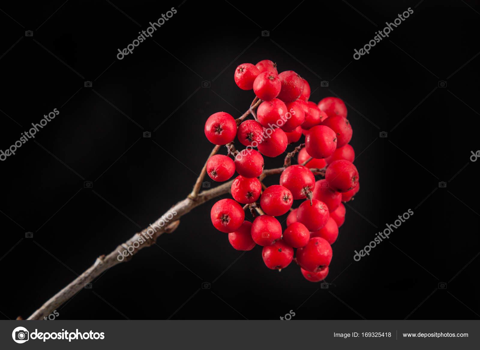 otoño para colorear y grúa de frutas. Sorbus aucuparia — Fotos de ...