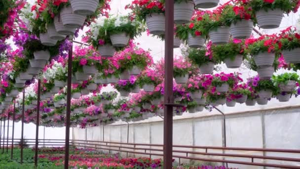 Barevné dekorativní petúnie se pěstují ve skleníku