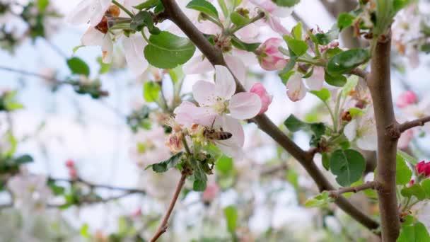 Včely sbírající nektar pylu na kvetoucím květu stromu. Koncepce jara