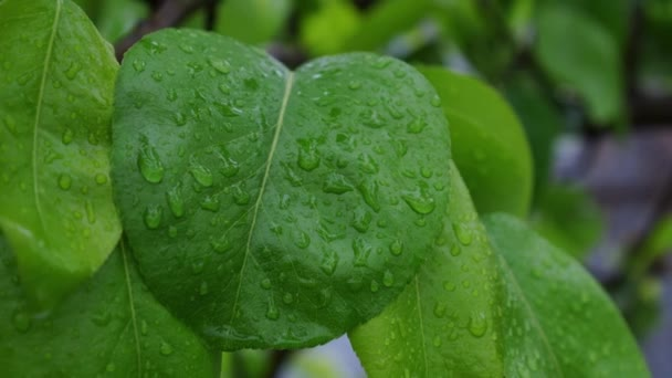 Drops of water during rain on a green leaf of a tree. Rainy weather in the garden.