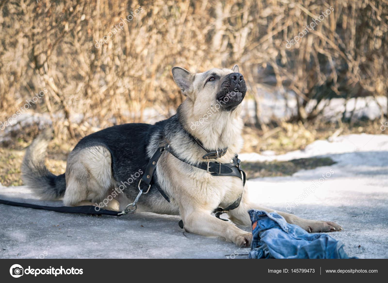 Cane Da Pastore Posa Sulla Neve E La Guardia Lo Straccio Durante Il