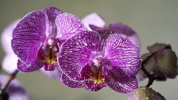 Permetezés vizet egy virágzó rózsaszín orchidea