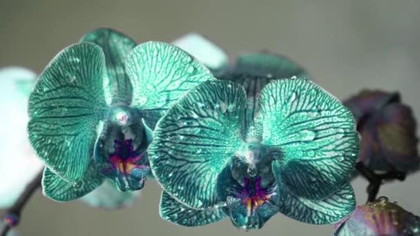 Modrá mokré květy orchidejí kymácí