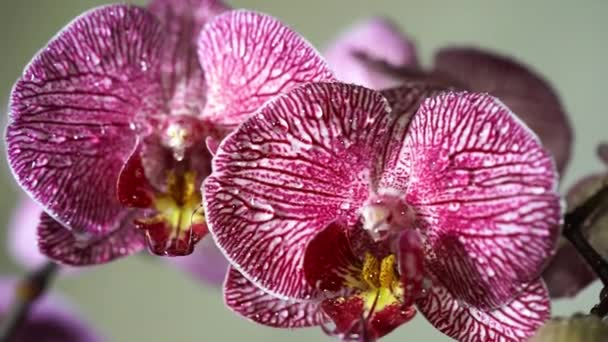 Water droplets on orchid. Close up of a colorful orchids blossom