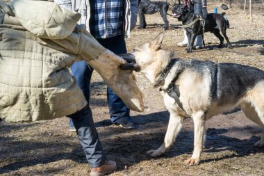 shepherd dog attacks and bites during the dog training obedient course