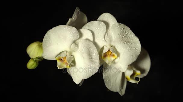 Pobočka bílé květy orchidejí na černém pozadí mávat z kapky vody