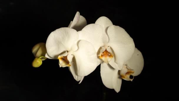 ein Zweig weißer Orchideenblüten auf schwarzem Hintergrund, der von den Wassertropfen weht.