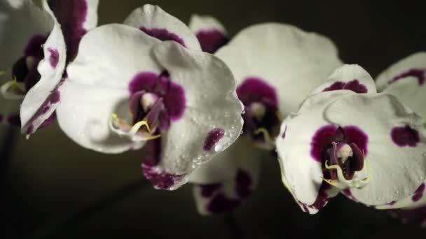 Bílá s phalaenopsis orchidej fialové skvrny na tmavém pozadí mávat z kapky vody