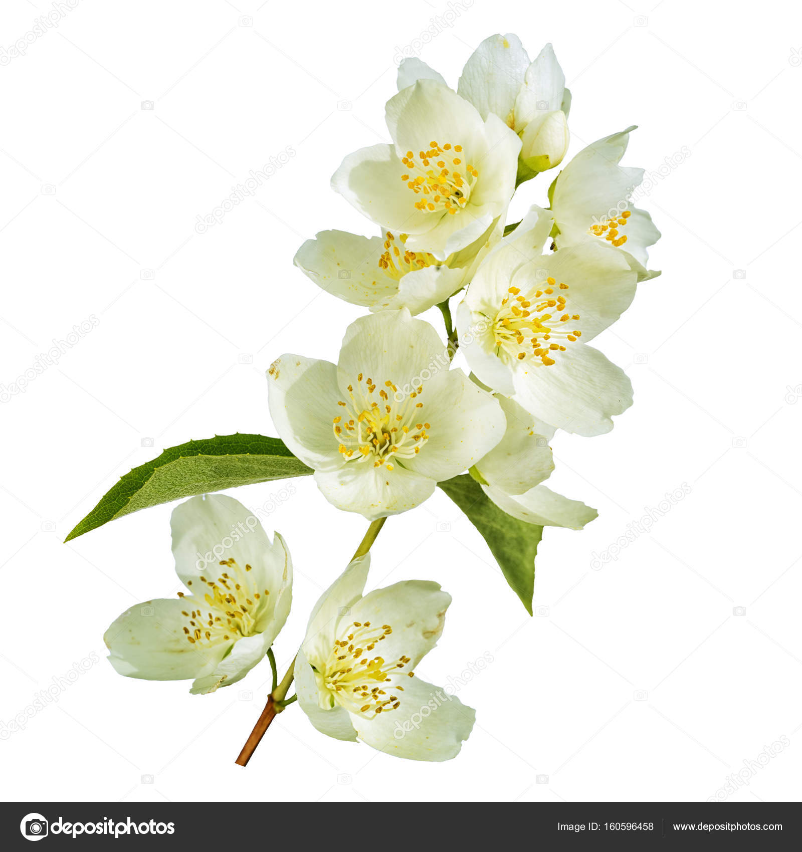 Branch Of Jasmine Flowers And Leaves Isolated On White Background